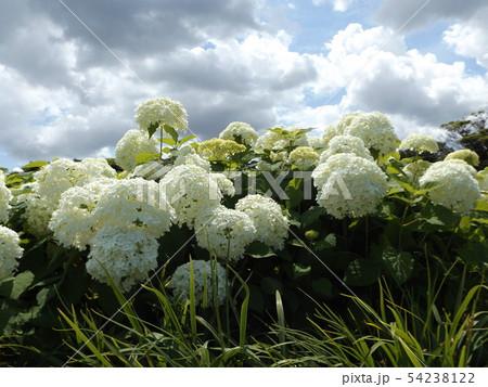 ハイドランジアアナベルというアジサイの白い花と青い空と白い雲 54238122