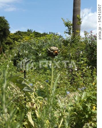 アンテーチョークの原種と言われるカールドンの蕾 54241007