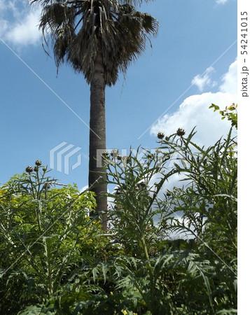 アンテーチョークの原種と言われるカールドンの蕾 54241015