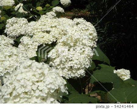 三陽メデアフラワーミュージアムの裏庭のカシワバアジサイの白い花 54241464