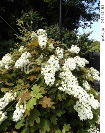 三陽メデアフラワーミュージアムの裏庭のカシワバアジサイの白い花 54241465