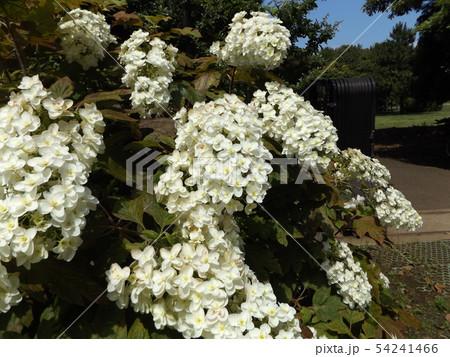三陽メデアフラワーミュージアムの裏庭のカシワバアジサイの白い花 54241466