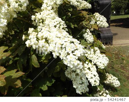 三陽メデアフラワーミュージアムの裏庭のカシワバアジサイの白い花 54241467