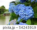 清澄庭園に咲く紫陽花と涼亭(6月)東京都江東区 54243919