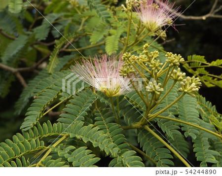 ネムノキの花の写真が撮れました 54244890