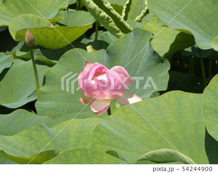 千葉公園のオオガハスの桃色の花 54244900