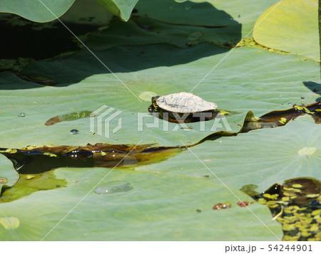 大鋸ハスの葉の上に小亀が1匹 54244901
