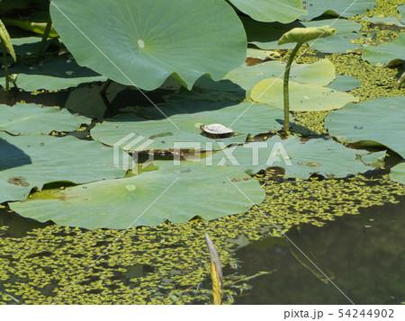 大鋸ハスの葉の上に小亀が1匹 54244902