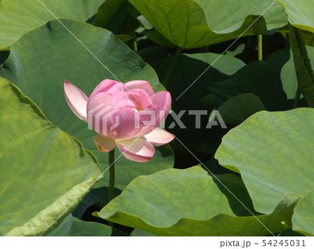 千葉公園のオオガハスの桃色の花 54245031
