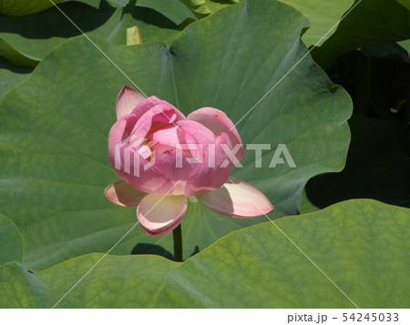 千葉公園のオオガハスの桃色の花 54245033