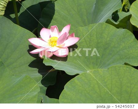 千葉公園のオオガハスの桃色の花 54245037