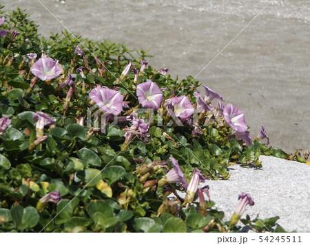 検見川浜に綺麗に咲いたハマヒルガオ 54245511