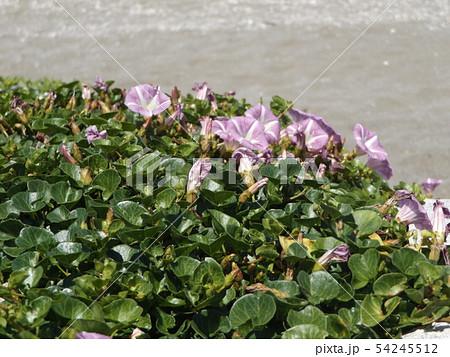 検見川浜に綺麗に咲いたハマヒルガオ 54245512