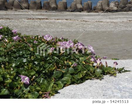 検見川浜に綺麗に咲いたハマヒルガオ 54245513