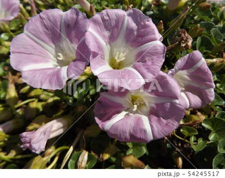 検見川浜に綺麗に咲いたハマヒルガオ 54245517