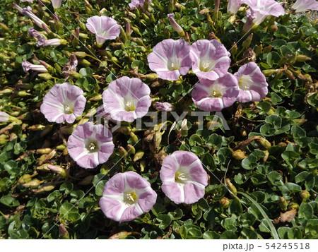 検見川浜に綺麗に咲いたハマヒルガオ 54245518