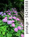 飛鳥山公園の紫陽花。飛鳥の小径(あすかのこみち)(6月)東京都北区 54245888