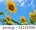 向日葵と青空 54245896