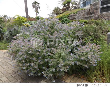青い星型の花はボリジの花 54246000