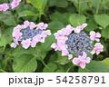 むらさきのきれいな紫陽花 54258791