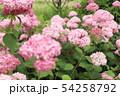 ピンクの紫陽花 ピンクアナベル 54258792
