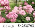 ピンクの紫陽花 ピンクアナベル 54258793