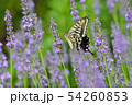 揚羽蝶とラベンダー 54260853