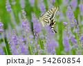 揚羽蝶とラベンダー 54260854