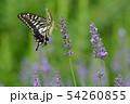 揚羽蝶とラベンダー 54260855