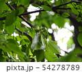モリアオガエルの産卵 54278789