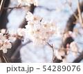 さくら咲く 54289076
