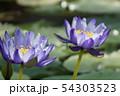 蓮の花、スイレン、花 54303523