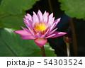 スイレン、蓮の花、花 54303524