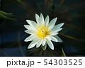 花、蓮子、水辺 54303525