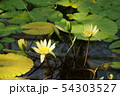 花、水辺、蓮子 54303527