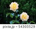 薔薇、花、ピンク 54303529