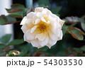 花、薔薇、クローズアップ 54303530