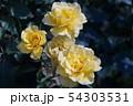 花、薔薇、黄色いバラ 54303531