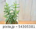 ローズマリーアープ種 54305381