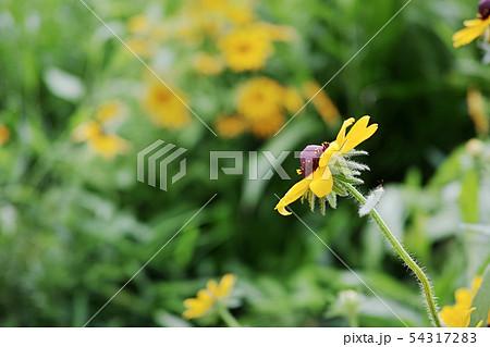 横向きのルドベキアの黄色い花 54317283
