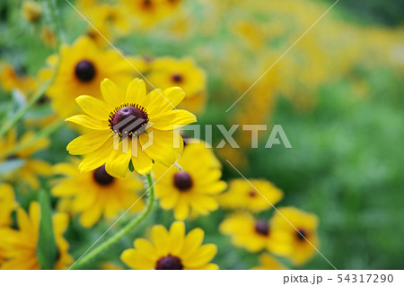 ルドベキアの黄色い花 54317290