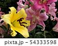 開花した百合の花びら(1) 54333598