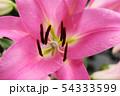 開花した百合の花びら(2) 54333599