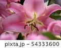 開花した百合の花びら(3) 54333600