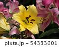 開花した百合の花びら(4) 54333601