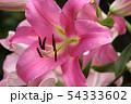 開花した百合の花びら(5) 54333602