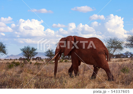 A view of a walking elephant with tusks and trunk. 54337605