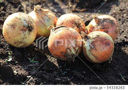 新玉葱の収穫 54338263