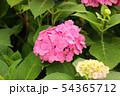 白山神社のアジサイ 54365712