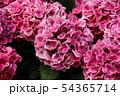 白山神社で飾らていたアジサイ(1) 54365714